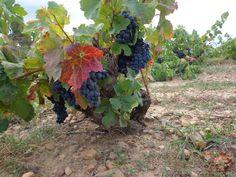 La uva de Samsó, lista para vendimiar en la Finca La Garriga Fruit, Wine Cellars, Growing Up