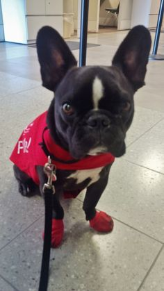 "Say hello to Sergio, the newest member of the LAX PUP (Pets Unstressing Passengers) program! He's ready to bring you smiles and happiness in the terminals. How cute does he look in his red ""Pet Me"" vest and matching shoes? [PIC] LAX PUP ‪#‎LAXPUPs"