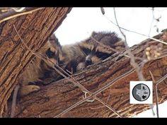 DANS LA NATURE Ep.35 : Ratons laveurs endormis Nature Sauvage, Raccoons, Wild Nature, Wilderness, Fox, Canada, Animals, Racoon, Animales