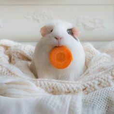 Як морська свинка Бубу стала музою фотографа - фото 5