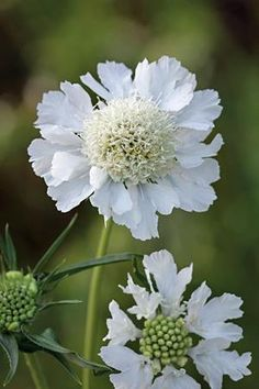 Scabiosa caucasia perfecta 'Alba' - Pollinator friendly perennial for sunny, well drained soils.