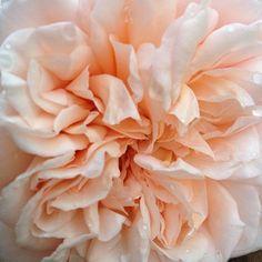 "David Austin ""Juliet"" rose"