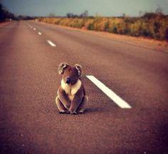 Koala on the road. Australia