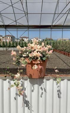 Trachelospermum Tricolor Vaso 7-10L