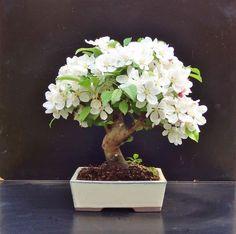 Bonsai, probably an apple or plum tree?