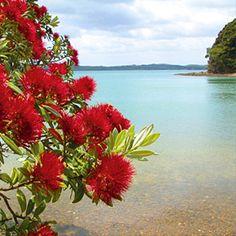 Pohutukawa - New Zealand's Christmas tree Albizia Julibrissin, Flower Tattoo Foot, Flower Tattoos, New Zealand Holidays, Zealand Tattoo, Fairy Tattoo Designs, New Zealand Landscape, New Zealand Art, Kiwiana