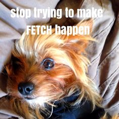 Cooper - Yorkies do just what they want to, when they want to, and how they want to. LOL