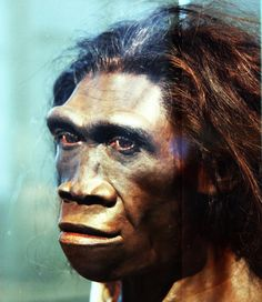 Homo erectus, adult female - Smithsonian Museum of Natural History. Temporal range: 1.9–0.1Ma.