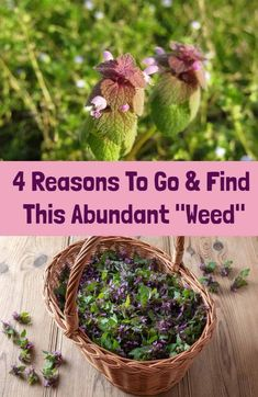 Purple dead nettle is a surprisingly abundant herb which could be growing near you. Here are some compelling reasons why you should go out and find it now. Medicinal Weeds, Edible Wild Plants, Herbal Plants, Herbs For Health, Wild Edibles, Healing Herbs, Just In Case, Planting Flowers, Herbalism
