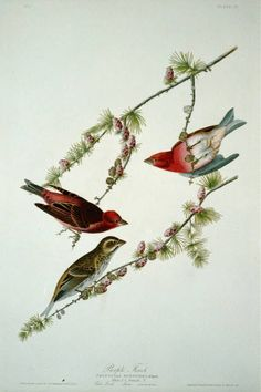 Trademark Fine Art Purple Finch Canvas Art by John James Audubon, Size: 24 x Multicolor Artist Canvas, Canvas Art, Canvas Size, Audubon Birds, Birds Of America, John James Audubon, Bird Pictures, Animals Of The World, A4 Poster