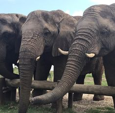 Elephants wear down 6 sets of molars in a lifetime. Their jaws can crack open the thickest and hardest shells of fruits, releasing the seed kernels inside. Elephant Sanctuary, Group Tours, African Elephant, Cutlery, Elephants, South Africa, Shells, Eat, Animals