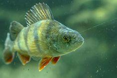 9 Freshwater Fish Fa
