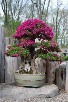 Stunning Bonsai Plant Design Ideas For Garden - TRENDUHOME - One of the ancient plants that are used for decoration in both the indoors and outdoors are bonsai plants. Bougainvillea Bonsai, Flowering Bonsai Tree, Indoor Bonsai Tree, Bonsai Plants, Bonsai Garden, Garden Trees, Bonsai Trees, Plantas Bonsai, Urban Gardening