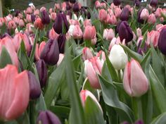 tulips Tulips, Bloom, Nature, Inspiration, Gardens, Canada, Colorful, Board, Diy