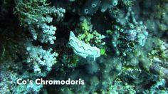 Video Co's Chromodoris   Pata Negra Alona Panglao Bohol Bohol, Scuba Diving, Island, Beach, Movie Posters, Diving, The Beach, Film Poster, Islands