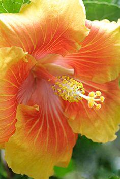 my hibiscus garden .. X ღɱɧღ ||