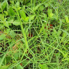 Snow droplets on grass evergreen scrubs @gardening