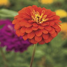 Zinnia   These are beautiful flowers that can hold up against the scorching temperatures this summer season.
