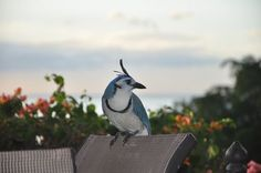 Urraca azul Photo by Luis Diego Cruz Conejo -- National Geographic Your Shot