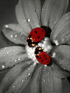 splash of color photography Black And White Pictures, Black And White Colour, White Art, Red Black, Splash Photography, Color Photography, Photography Flowers, Black And White Portraits, Black And White Photography