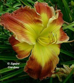 Richard Norris' PLANE GEOMETRY (2007) height 38in (96cm), bloom 6.5in (16.5cm), season M, Semi-Evergreen, Diploid, 20 buds. Orange self abov...