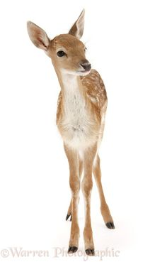 Photograph of Fallow Deer (Dama dama) fawn. Rights managed white background image. Warren Photographic WP28617