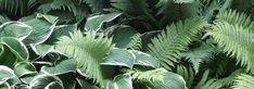 Découvrez notre sélection des 10 meilleures plantes vivaces pour l\'ombre ainsi que nos idées pour les associer au jardin, en massif ou en bordure. Paradis, Plant Leaves, Plants, Shade Garden Plants, Beautiful Gardens, Rock Shower, Patio, Plant, Planets