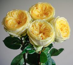 Pretty Catalina, one of our fair-trade certified yellow garden roses.