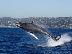 Humpback whale steals spotlight from orcas - GrindTV.com