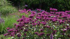 in vak voor ligusterhaag links Purple Perennials, Plants, Lawn And Garden, Plant, Planets