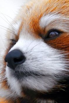 Super close up shot of a red panda's face, majestic animals Cute Creatures, Beautiful Creatures, Animals Beautiful, Nature Animals, Animals And Pets, Photo Panda, Cute Baby Animals, Funny Animals, Tier Fotos