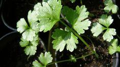Pěstování celeru   Prima nápady Herbs, Plants, Herb, Plant, Planets, Medicinal Plants