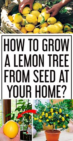 You can grow lemon tree indoors with these simple and easy steps. You'll need or… You can grow lemon tree indoors with these simple and easy steps. You'll need organic lemon seeds that are left over, soil and organic fertilizers to start. Fruit Garden, Edible Garden, Herb Garden, Garden Plants, Indoor Plants, Easy Garden, How To Garden, Indoor Fruit Trees, Garden Ideas