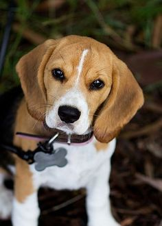 What a sweet Beagle! So in love!!
