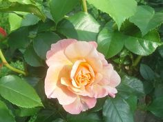 Rosa Marie Curie, hebben we in het voorjaar aangepoot (2016). In de oude Rozentuin als vervanger van Rosa Excelsa die er heeft gestaan van 2000 tot 2014, waarvan de stam was aangevreten en niet meer te redden was. Rosa Marie Curie is een stamroos met oranje roze kleine bloemen die heerlijk geuren en de hele zomer bloeit.