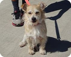 07/31/2016 Lathrop, CA - Terrier Mix, Adopt Bud, ID#: 7011, a young small male dog, 2 to 3 years old, neutered, housetrained, up to date with shots, good with kids, and good with dogs, Great little dog who weighs 20 pounds. Will make an excellent companion. To adopt contact Pets & Pals Animal Shelter, (209) 982-5073, email info@petsnpals.org
