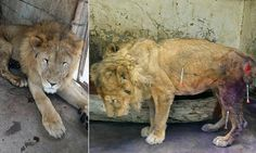 The animal is trapped in the Taiz Zoo in Yemen, which has been virtually abandoned after civil war broke out leaving many of the creatures there starving and suffering from infection.