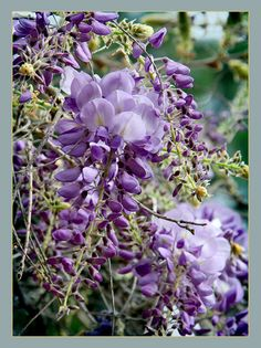 https://flic.kr/p/9qdmZh | 3.12.11 10 | Lovely Wisteria, one of my favorite flowers. South Coast Botanic Garden, Palos Verdes Peninsula, California.  Best viewed on black.