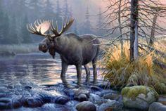 A large bull moose crosses over a creek in Greg Alexander's wildlife print Power in the Mist. The moose prefers climates with temperatures below 60 degrees. Wildlife Paintings, Wildlife Art, Animal Paintings, Oil Paintings, Painting Prints, Moose Pictures, Animal Pictures, Moose Pics, Bull Moose