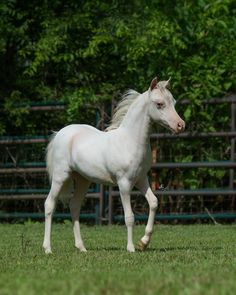 Hard to go wrong with a direct daughter of the one and only BILLY IDOL!! Offered by Mini Horse Sales