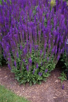 Salvia nemorosa 'Ostfriesland' (Salie), bee plant does well in pots in sunny position Herbaceous Perennials, Flowers Perennials, Planting Flowers, Perennial Plant, Love Garden, Dream Garden, Back Gardens, Outdoor Gardens, Plant Catalogs