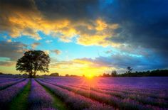 Mayfield Lavender. Beautiful image of stunning sunset with atmospheric clouds and sky over vibrant ripe lavender fields in English countryside landscape