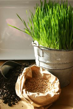 Wheat grass - Known for its super alkalizing food which promotes healthy blood. It normalizes the thyroid gland to stimulate metabolism thus assisting digestion and promoting weight loss due also to its high enzyme content and cleansing effect.  http://www.foodmatters.tv/Health_Resources/Green_Superfoods