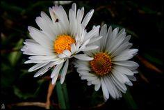 fleurs blanches 1 by pawelreklewski