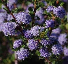 Holly Leaf Mountain lilac 3-6 ft. Ceanothus Blue Jeans flowers