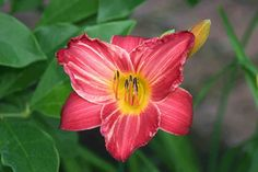 """'My Ways' Wild, 1978.  $5 TF.  height 25"""", bloom 5"""", season EM, Dormant, Diploid, Red with white streaks. The streaks on this oldie are fascinating. Nothing else quite like it in the garden. Was one of my first daylilies. Sentimental favorite.  HM 1982."""