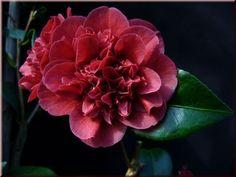 Camellia japonica 'Burgundy Gem' (New Zealand, 1987)