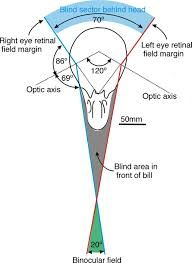 binocular vision - Google Search