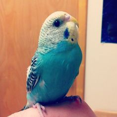 Parakeet... I love these birds!!