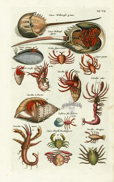 Merian Fish Prints, Crab Prints, Shell Prints from Johnston 1767 Illustration Botanique, Kunst Poster, Merian, Underwater Creatures, Nature Illustration, Design Graphique, Fish Print, Nature Prints, Gravure